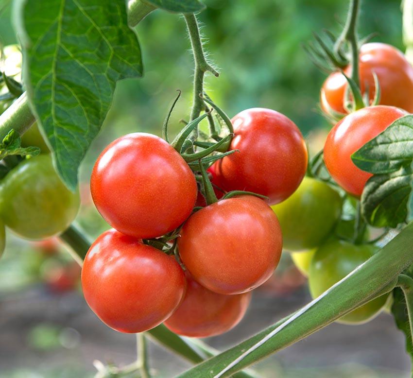 Como elaboramos el tomate frito y el sofrito?
